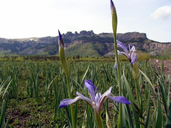 Iris beginning to bloom